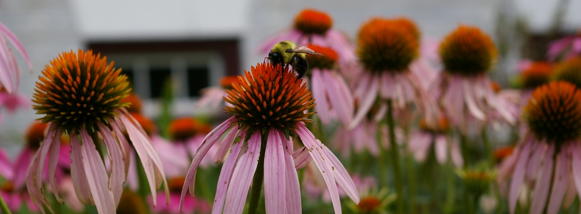 coneflowers and bee