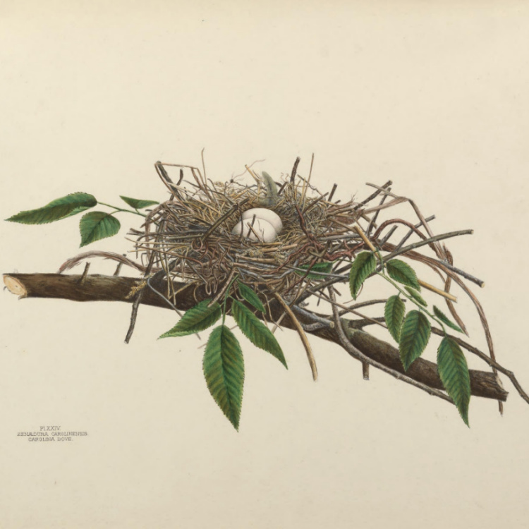 Illustration of mourning dove eggs and nest.