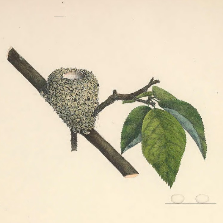 Illustration of ruby-throated hummingbird eggs and nest.